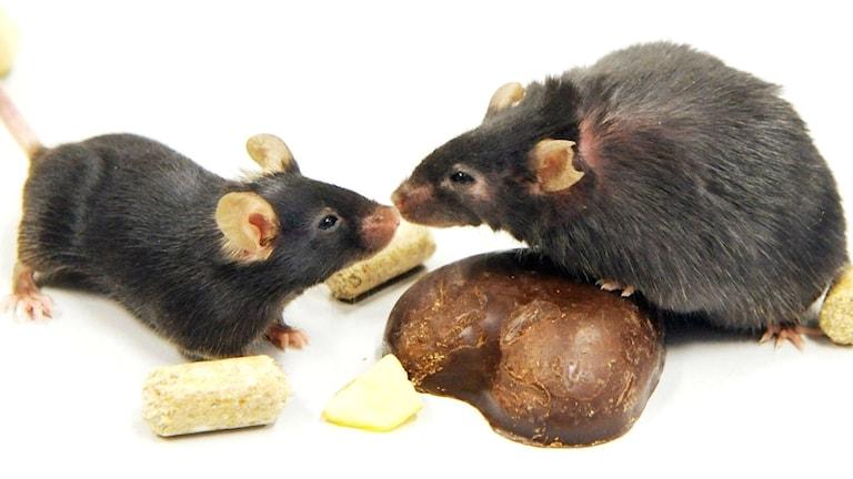 En mus och en råtta nos mot nos.