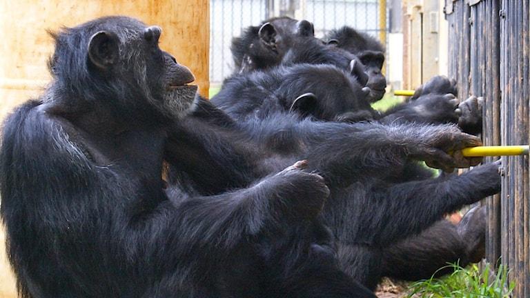 Fler schimpanser på rad petar med pinnar