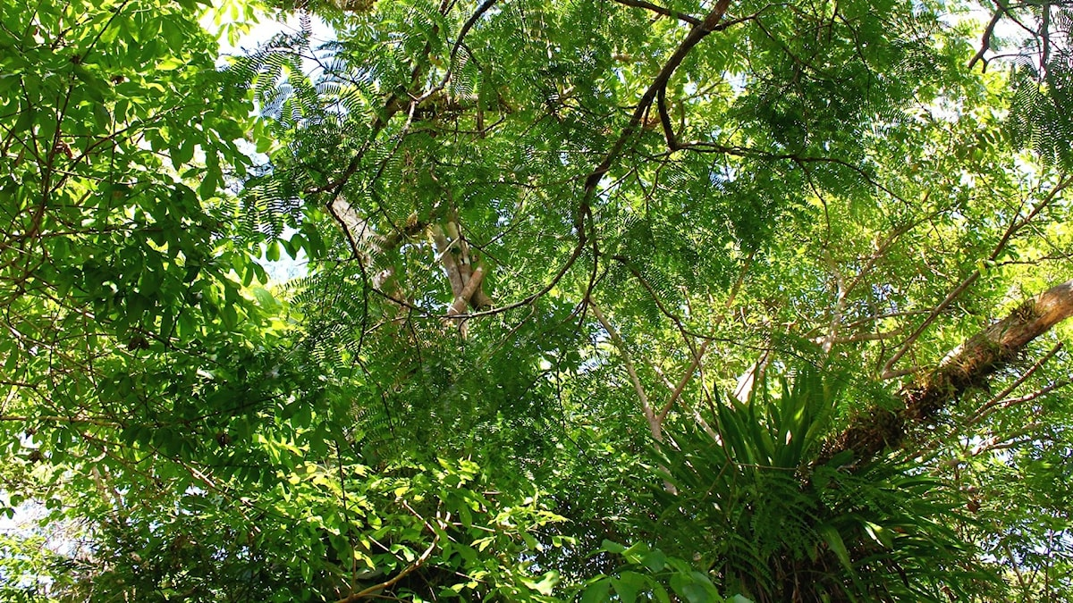 Trädkronor sedda underifrån i Amazonas
