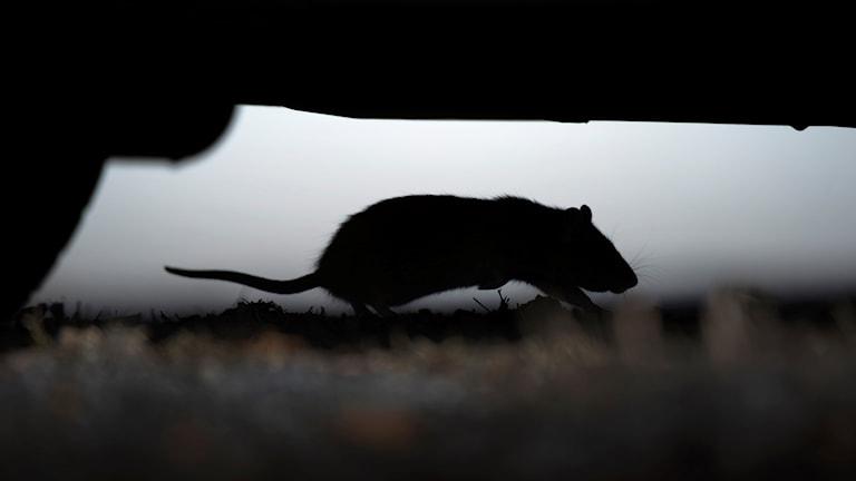 Silhuett av en råtta som springer under en bil.