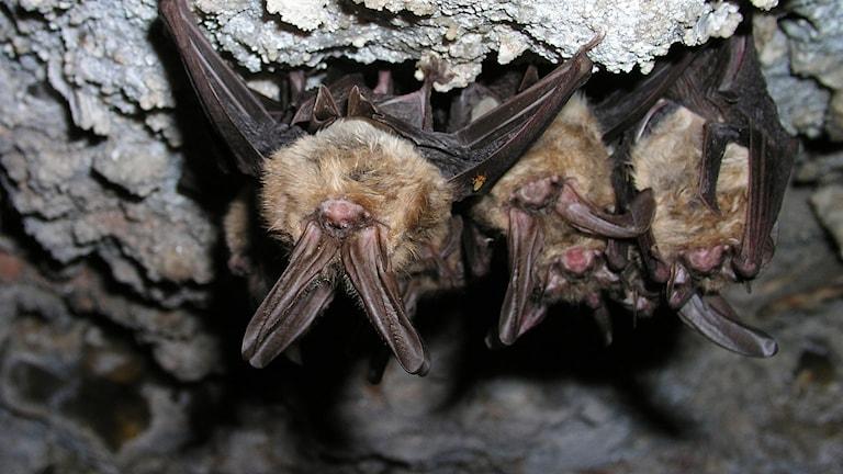 tre fladdermöss hänger i en grotta.