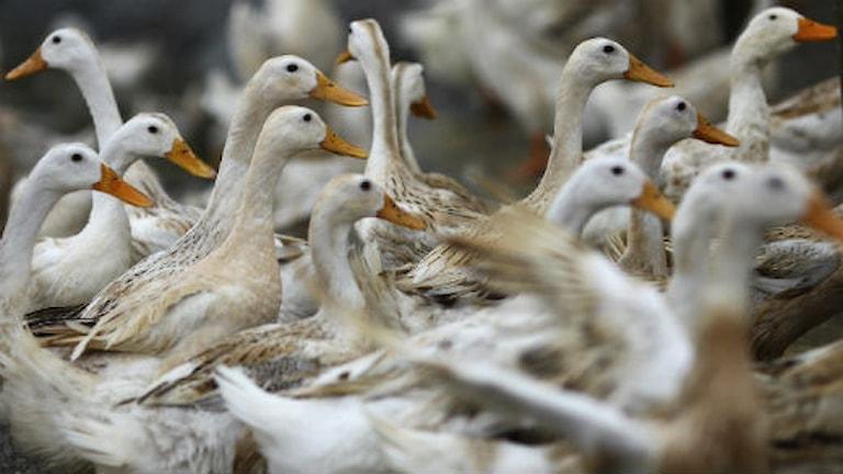Ankor i Ha Nam-provinsen i Vietnam, ett område som tidigare i år drabbades av ett fågelinfluensautbrott. Foto: Scanpix