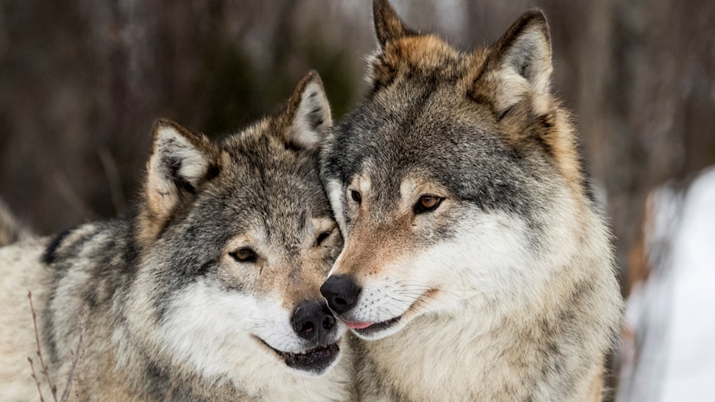 Två vargar nära varandra