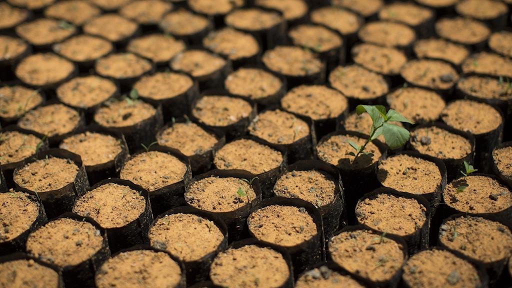 Inhemska träd i Brasilien odlas upp för att användas i återbeskogning av skog längs landets Atlantkust.