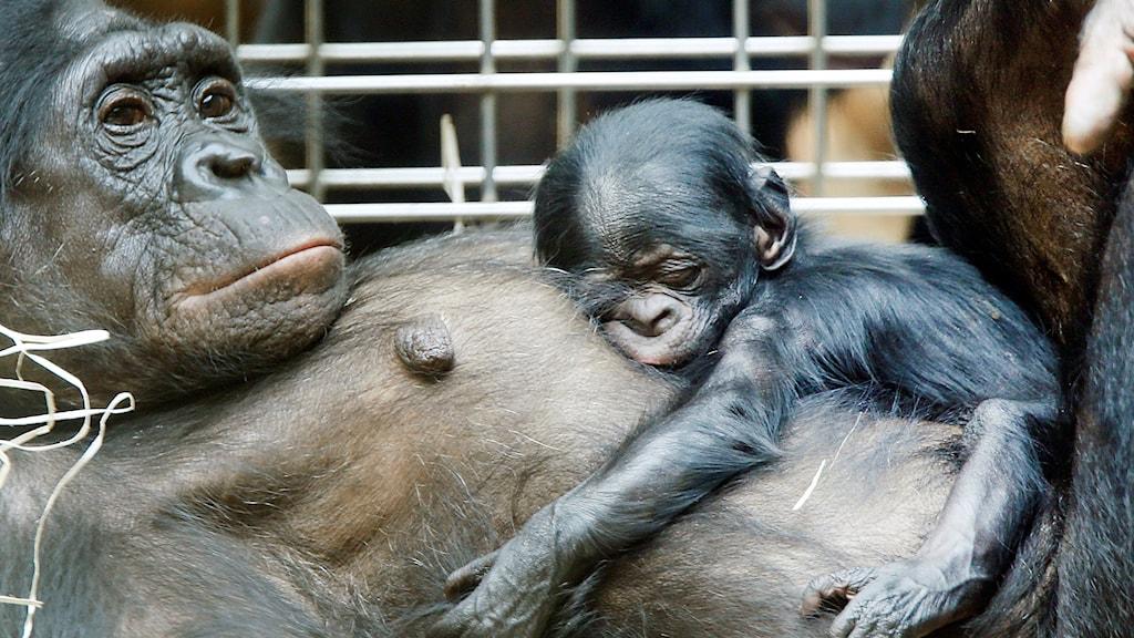 Bonobo-mamma med unge på magen