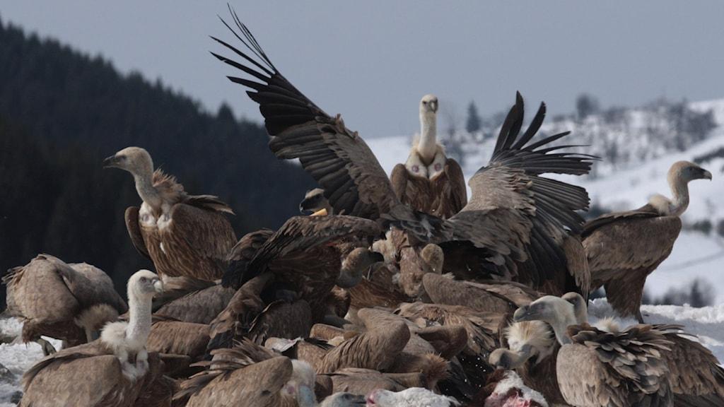 En flock med gåsgamar i Serbien äter på ett djurkadaver.