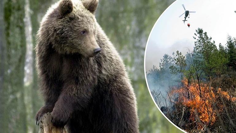 En björn står upp mot en trädstam. Till höger i bild: en helikopter svävar över en skogsbrand.