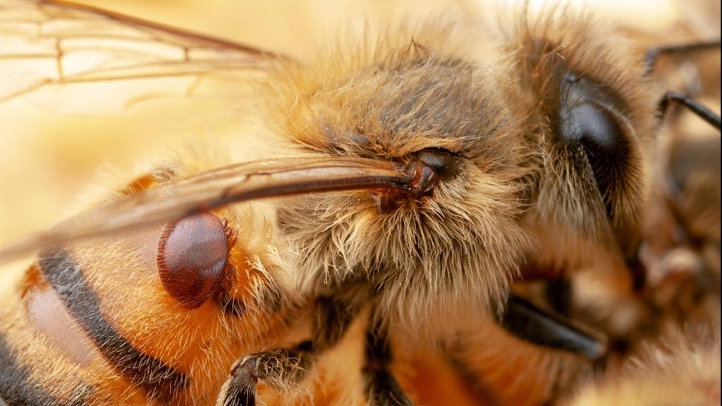 Extrem närbild på ett ett bi där ett litet kvalster sitter på biets rygg.