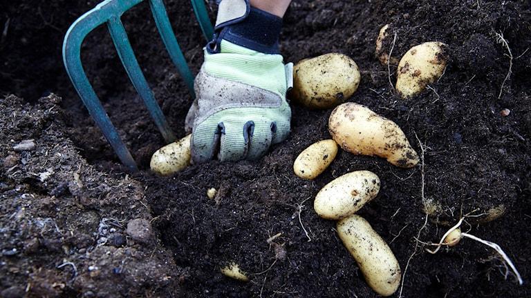 Någon gräver upp potatis ur jorden med en grep.