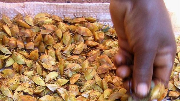 De ätliga skalbaggarna är torkade och ligger i en säck. En hand rör runt bland skalbaggarna.