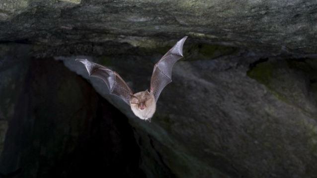 En fladdermus i en grotta