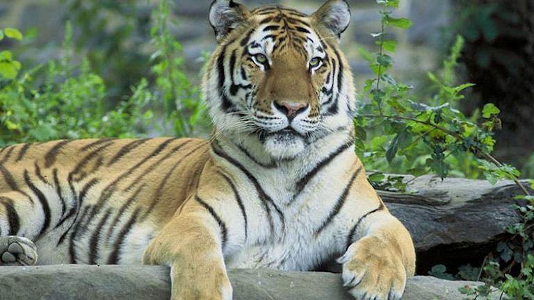 Sibirisk tiger.