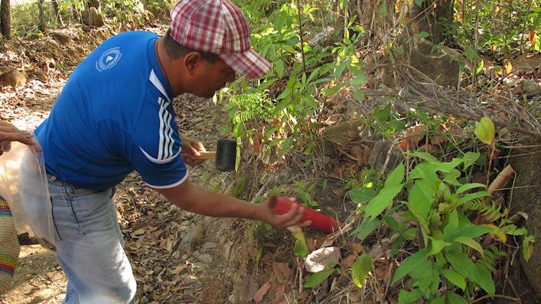 En av forskarna i den stora svampkartläggningen samlar in jord i Panama. Foto: Miguel Rosas.