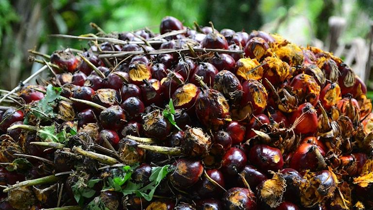 Klasar med plommonstora oljepalmfrukter.