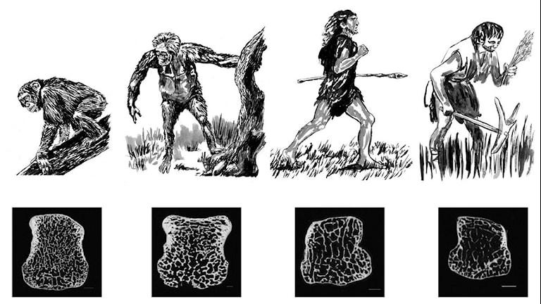 Människan fick ett ömtåligare skelett relativt sent i utvecklingen visar nya studier.Illustration: AMNH/J, Steffey och Brian Richmond
