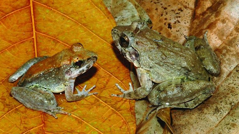 Grodan Limnonectes larvaepartus från den indonesiska ön Sulawesi. Den vänstra grodan är en hanne och den högra en hona. Foto: Jim McGuire photos.