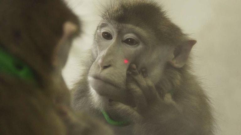 Apa pekar på en laserprick i ansiktet.