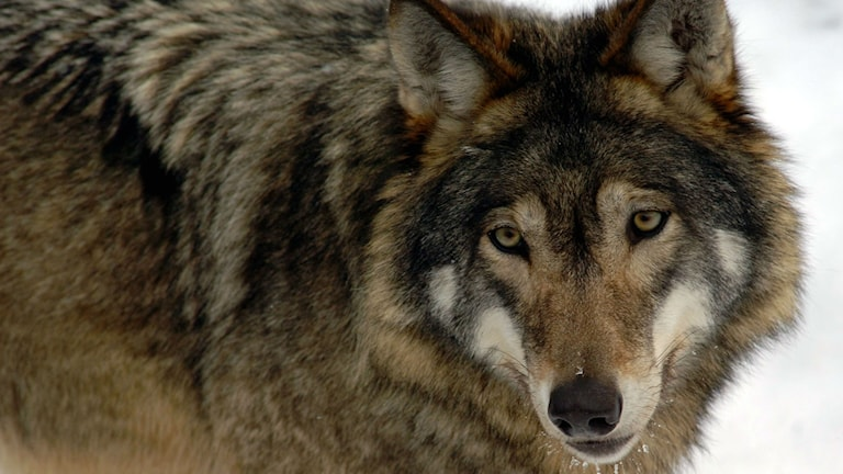 närbild på varg