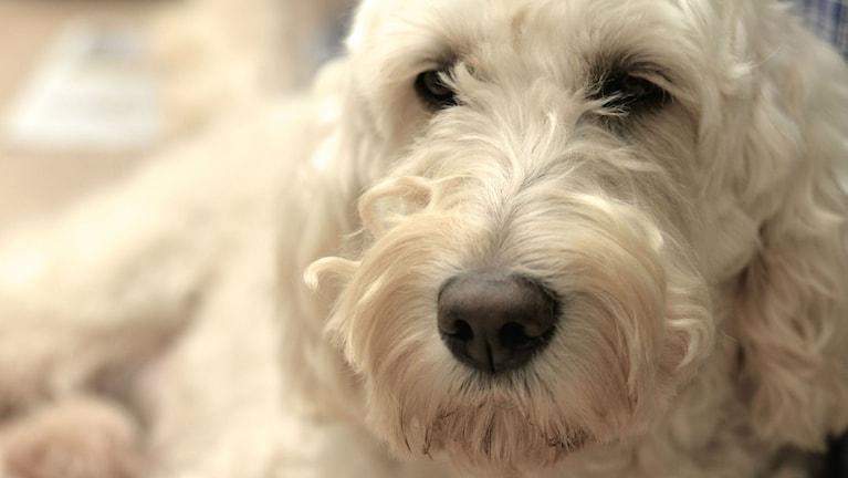 Hunden Livia
