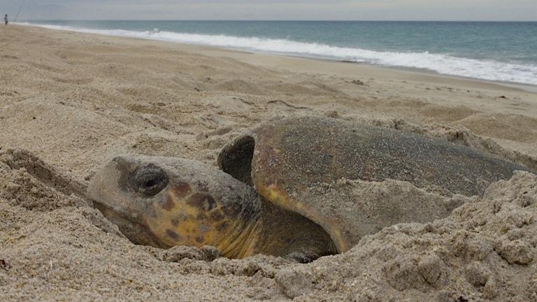En falsk karettsköldpadda (Caretta caretta) som lägger ägg på Melbourne beach i Florida. Foto: J. Roger Brothers