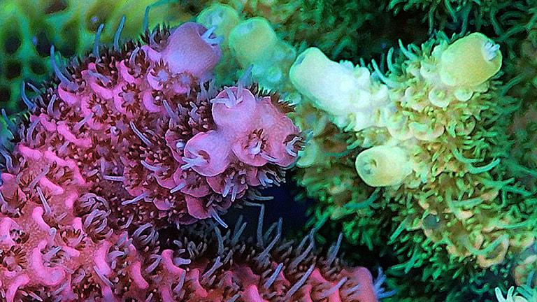 Koraller av arten Acropora millepora med olika färger. Foto: Professor Jörg Wiedenmann och Celia D'Angelo.