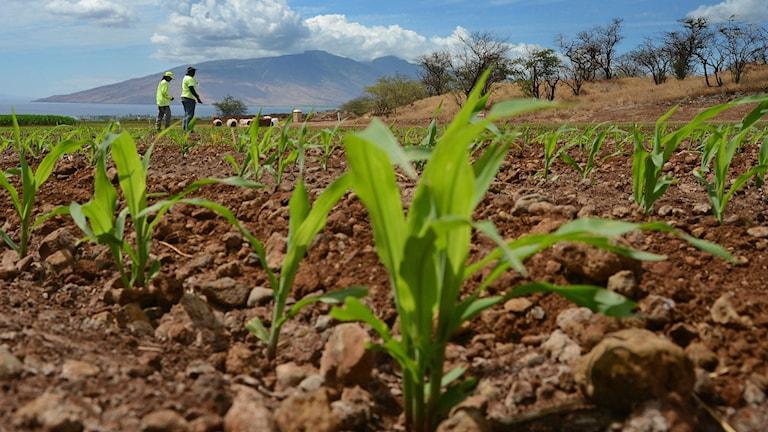 Odling på Hawaii med genetiskt modifierad majs på Hawaii. Amerikaner litar inte på genetiskt modifierade matprodukter, visar en ny undersökning. Foto: AP/TT