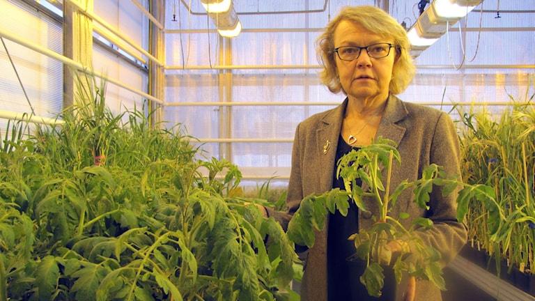 Växtförädlingsprofessor Christina Dixelius i växthuset.