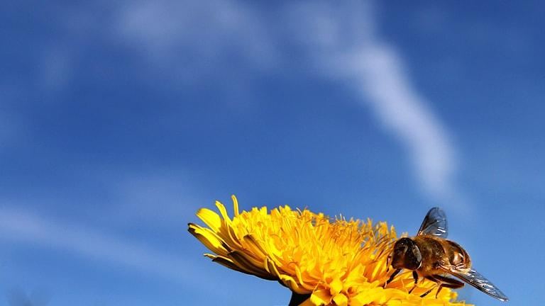 Pollinerande insekt. Foto Karl-Josef Hildenbrand/AP/TT