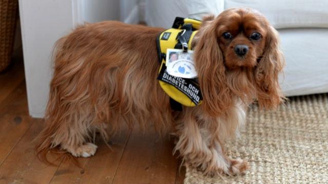 Liten långhårig hund med gul väst i vardagsrum