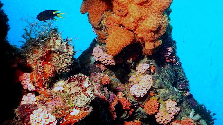 Ett korallrev med orange gula och rödrosa koraller, blått hav och en mörk fisk i bakgrunden