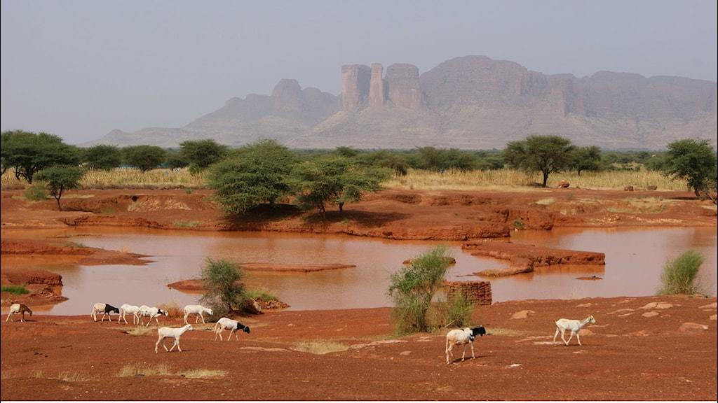 Vatten och akacior i Mali