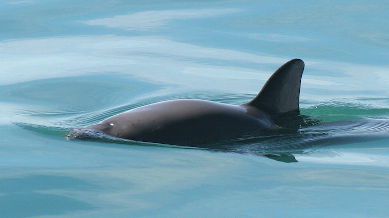En tumlare sticker upp sin ryggfena ur vattnet.