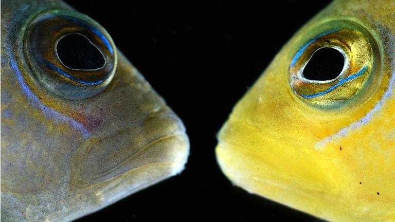 Revfisken dottyback i gul respektive brun förklädnad