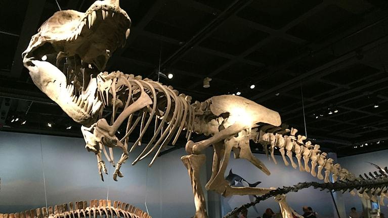 Modell av Tyrannosaurus rex på Naturhistoriska riksmuseet