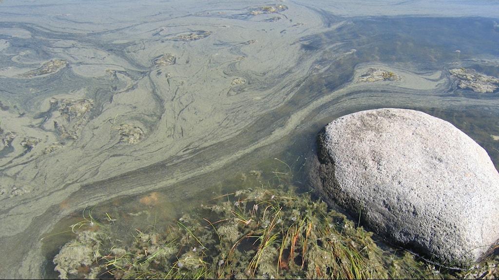 Algblomning i grunt vatten, grön hinna på vattnet brevid en sten