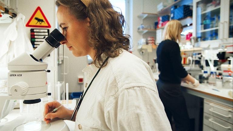 Forskare tittar i mikroskop