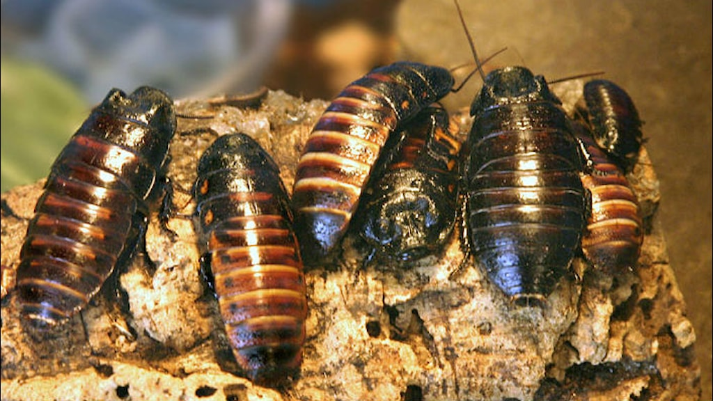 En grupp kackerlackor. Foto: Amos Oliver Doyle/Wikimedia CC-SA 4.0
