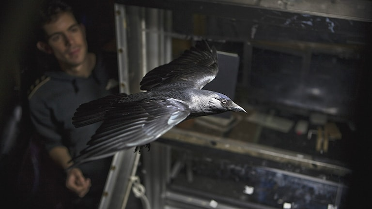 En tränad kaja flyger i vindtunnel. Foto: Aron Hejdström, Lunds universitet