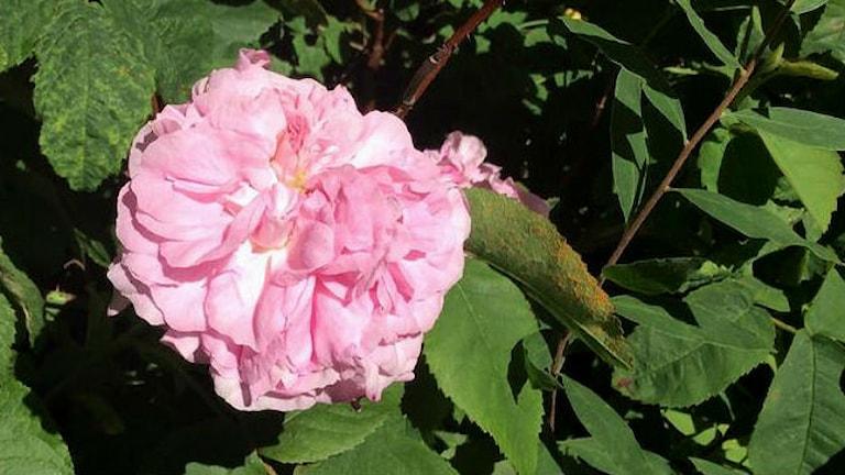 En rosa ros. Foto: Agnes Faxén/SR
