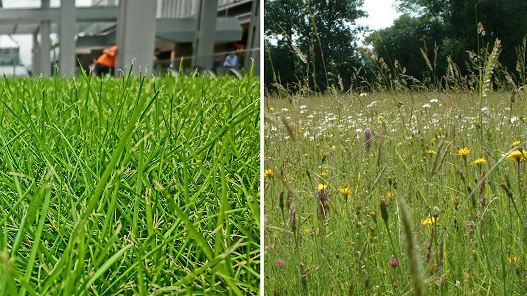 en bild visar gräs, den andra en äng-Foto: Cfaifayeas/CC SA 3.0 och Ian Knox/ CC BY SA-20. Montage: SR