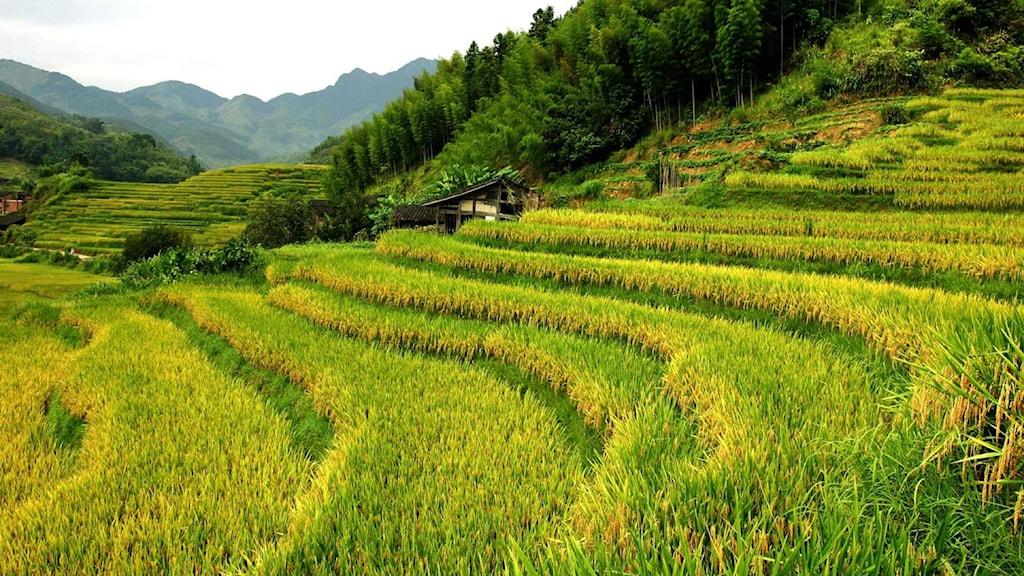 I Kina har det nya genförändrade riset som ger mer stärkelse i riskornen testodlats. Foto: Feng Wang