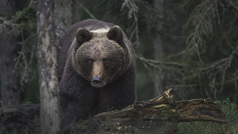 Brunbjörn. Foto: Per Harald Olsen, Wikimedia commons, CC SA 4.0
