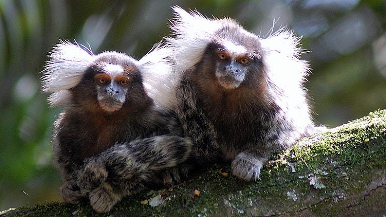 Silkesapor lär sig kommunicera genom att lyssna på föräldrar. Foto: Dario Sanches/Wikimedia Commons/CC BY 2.0