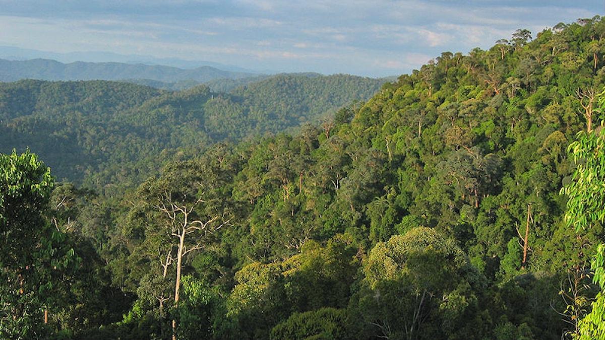 Regnskog i nationalparken Taman-Negara i Malaysia. Foto: Vladimir Yu. Arkhipov, Arkhivov (CC BY-SA 3.0)