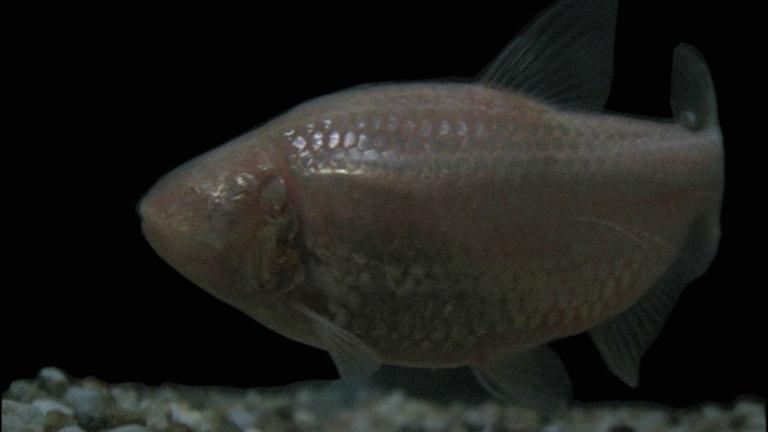 Den ögonlösa fisken Astyanax mexicanus från Mexico. Foto: Damian Moran