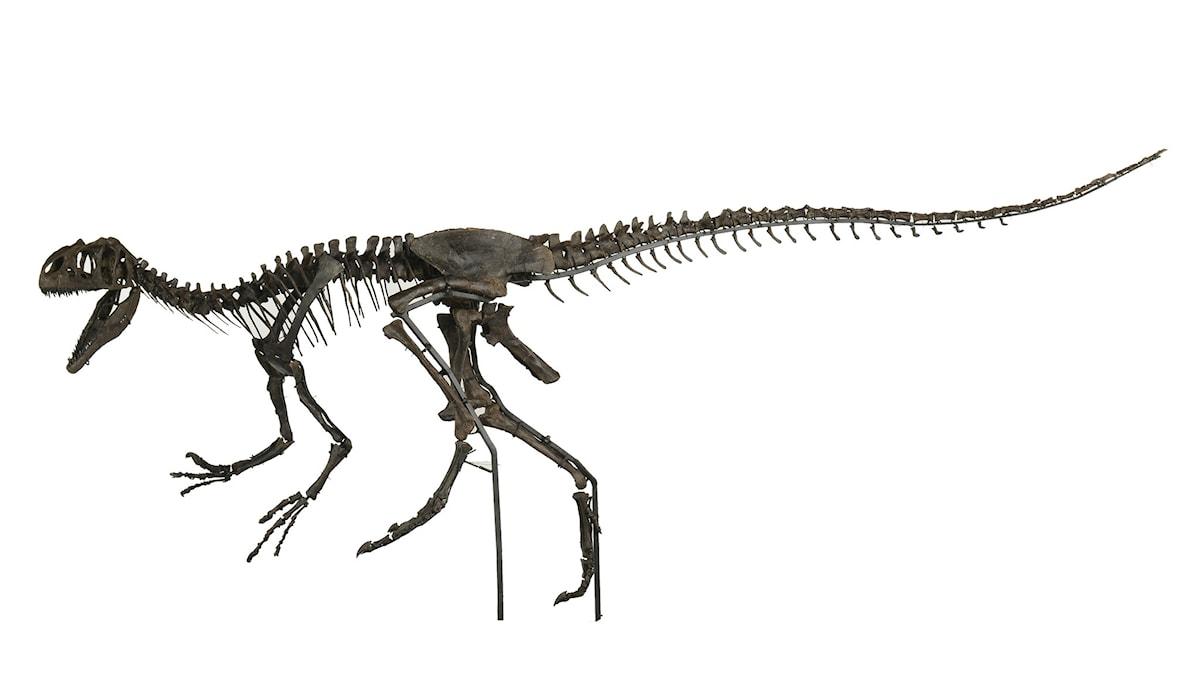 Ett skelett av en ung Allosaurous