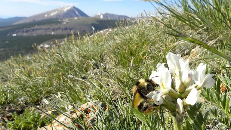 Humla suger nektar ur blomma, bergstoppar i bakgrunden. Foto: Christine Carson