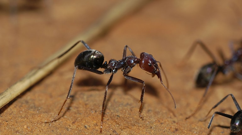 rödbrun myra