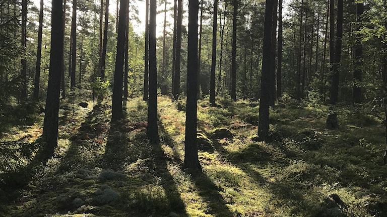 Solen silas in mellan tallstammarna i skogen.