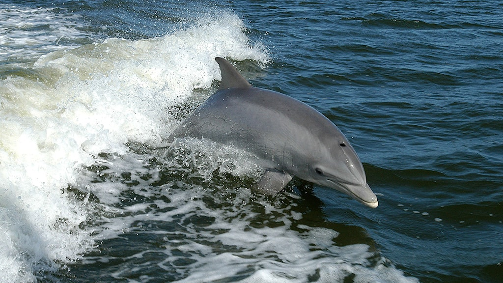 En flasknosdelfin hoppar framför en våg. Foto: Nasa (Public domain)